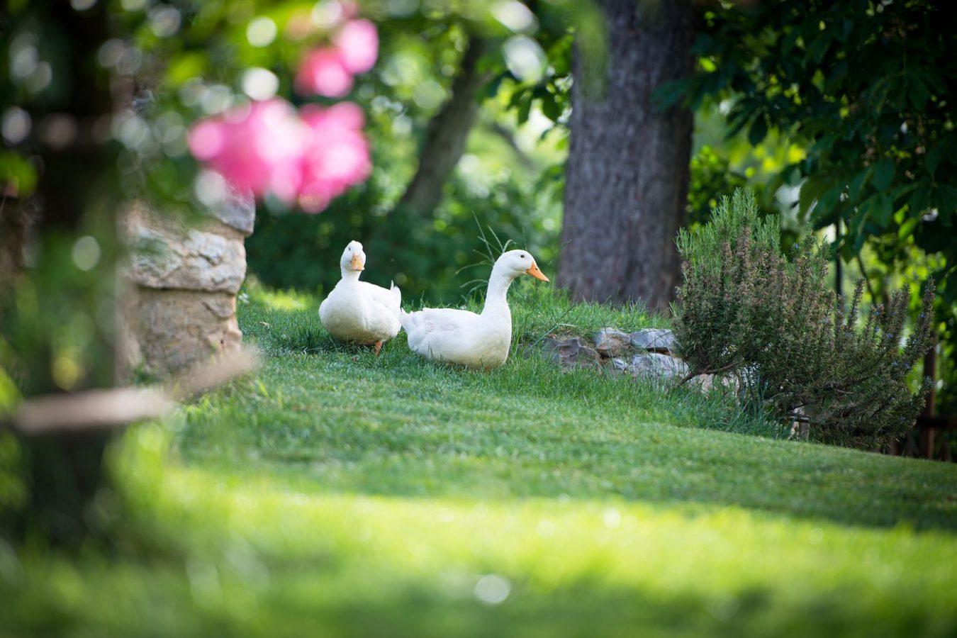 Outdoors Ducks Asa Residence Private Villa Kras Slovenia